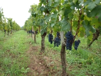 Vendanges 2011 / 2011 Wine Harvest